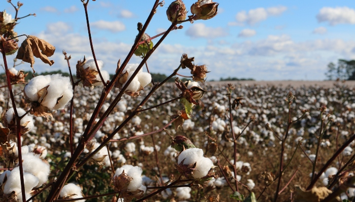 organic-cotton-vs-cotton